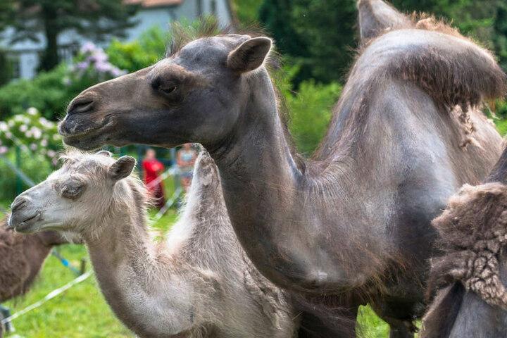 Die Kamele sind für den Zirkus ein treuer Begleiter.