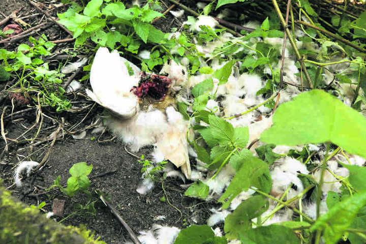 Nachts schepperte es, am Morgen war das Huhn tot - getötet von einem Waschbären.
