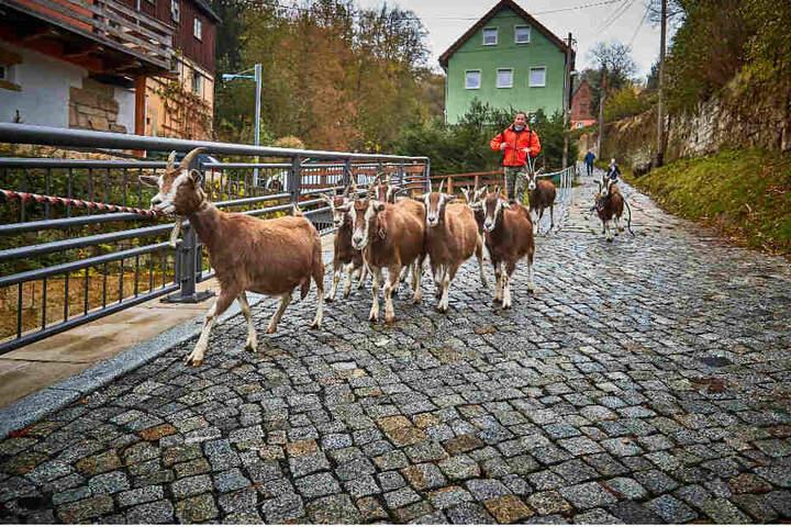 Im Ziegengalopp geht es in Richtung Elbe. Hat die Herde erst mal den Schwung, kommen Zweibeiner kaum noch hinterher.