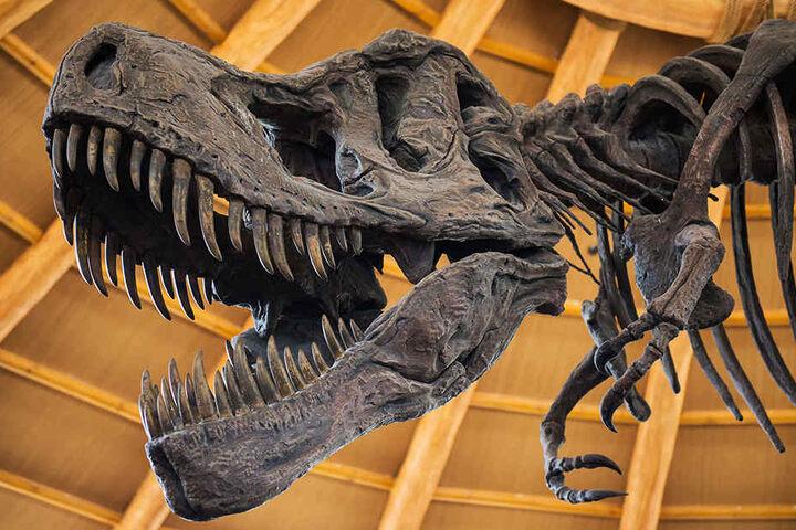 Der Zweibeiner soll der größte Raubsaurier Deutschlands gewesen sein. (Symbolbild)