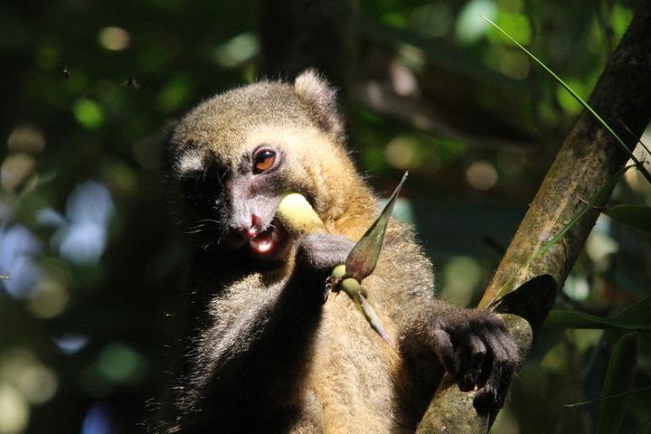 """Der Name """"Lemuren"""" ist wegen ihrer oft nächtlichen Lebensweise, ihrer großen Augen und damit markanten Gesichter von den römischen Geistern der Toten, den Lemures, inspiriert."""