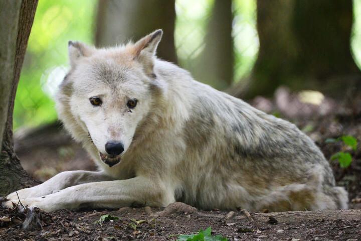 In Worbis dreht sich am Samstag alles um den Wolf.