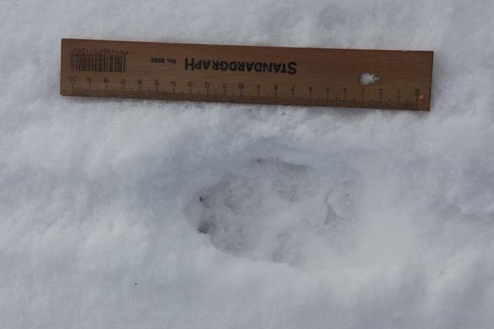 Wolfsspuren im Schnee.