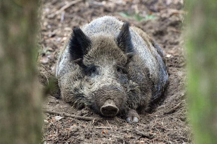 Ein Wildschwein hat eine Spielothek in Neuwied verwüstet.