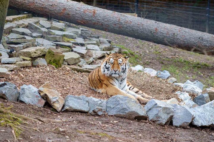 Tiger Wolodja genießt die Sonne in seinem neuen Freigehege.