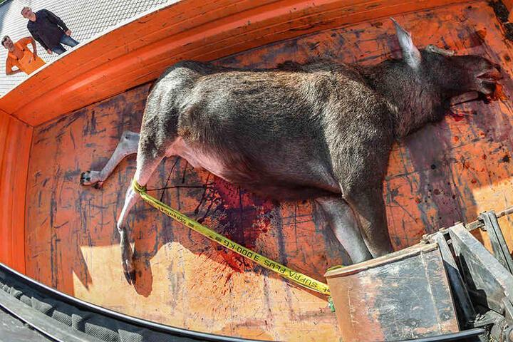 Die Autobahnmeisterei transportierte den toten Elch von der A12.