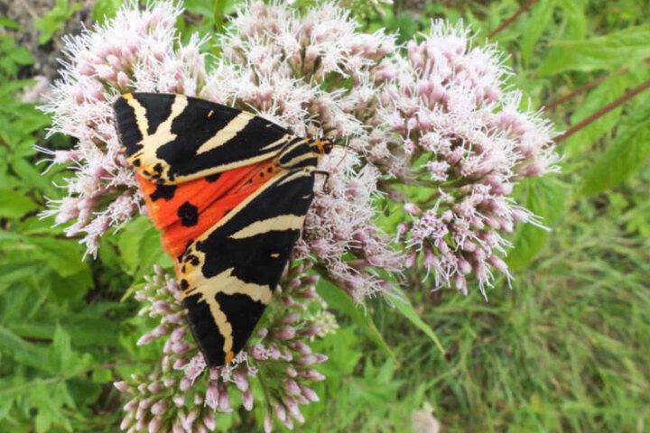 """Die Schmetterlingsart """"Spanische Flagge"""" sorgt in Pegestorf für mächtig viele Probleme."""