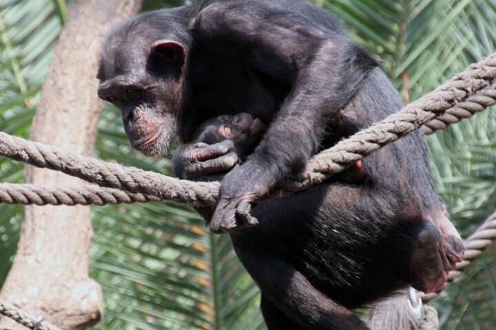 Ein junger Schimpanse klettert im Leipziger Zoo an einem Tau entlang. Das Verhalten der Tiere wird hier von Forschern des Max-Planck-Institut für evolutionäre Anthropologie erforscht.