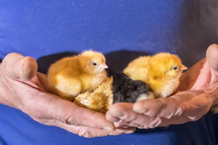 Die flauschigen Küken picken sich vor den Augen der Museumsgäste aus ihren Eiern.