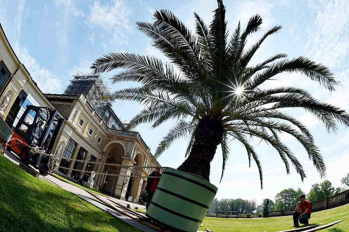 Potsdam macht sich hübsch. Palmen am Schloss Sanssouci.