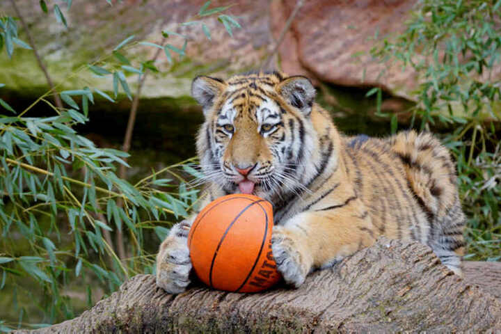 Der zweijährige Wolodja ist verspielt. In Nürnberg schnappte er sich zum Vergnügen der Besucher gern einen Basketball.