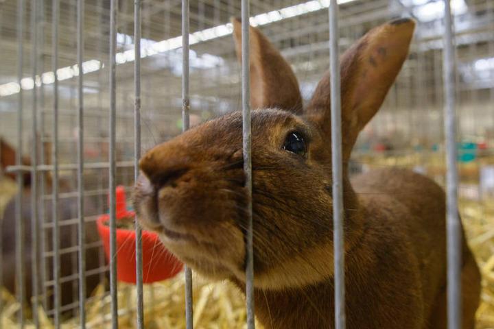 """Ein Kaninchen der Rasse """"Hasenkaninchen"""" streckt die Nase durch die Gitterstäbe eines Käfigs."""
