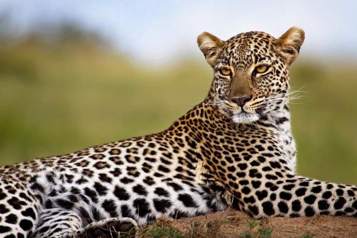 Die Mönche meditierten in einem speziell für Leoparden und Tiger eingerichteten Schutzgebiet. (Symbolbild)
