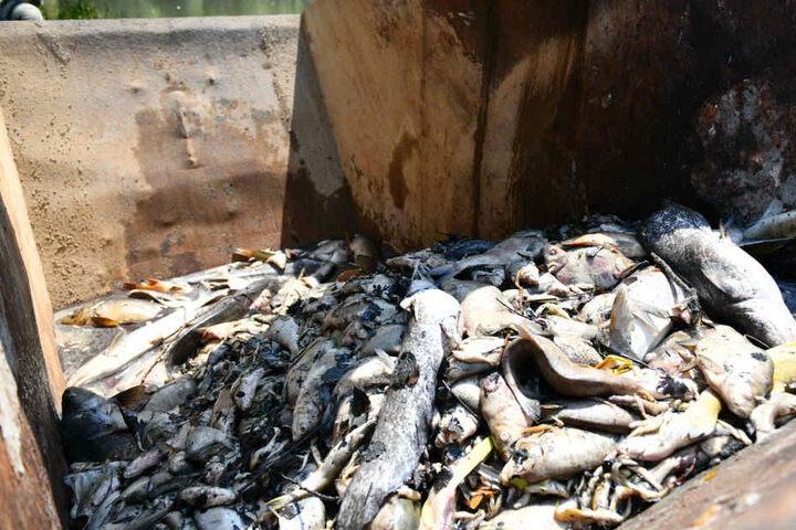 Diese Kadaver wurden bereits aus dem See gefischt.