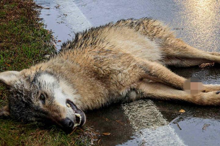 Wölfe töten, werden aber auch getötet - oft bei Verkehrsunfällen wie hier in der Lausitz.