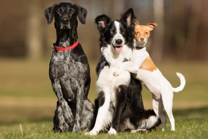 Diese drei Hunde verstehen sich prächtig.