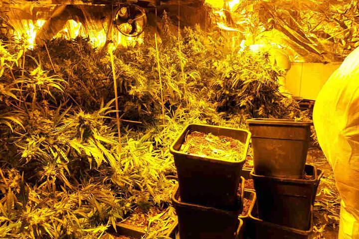 Polizei entdeckt Cannabis-Plantage im
