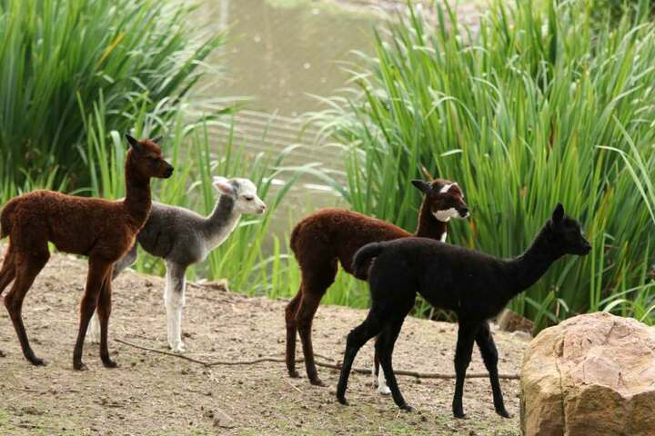 Eine Stute und drei Hengste - die kleinen Alpakas im Tierpark Limbach-Oberfrohna brauchen einen Namen.
