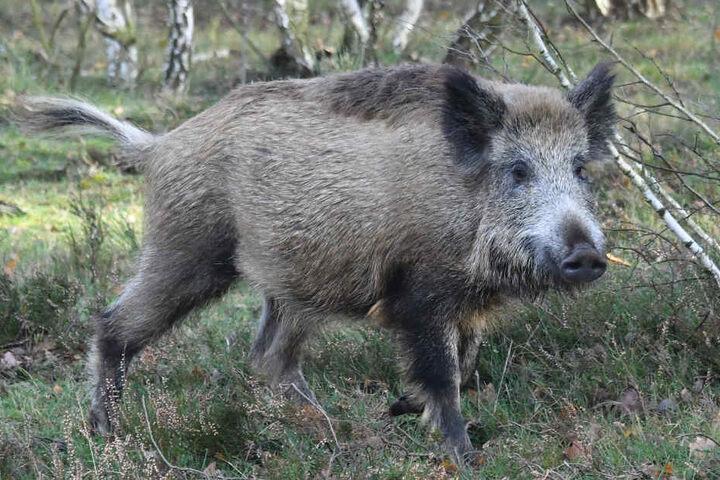 Mehrere Fußgänger stürzten wegen des Wildschweins (Symbolfoto).