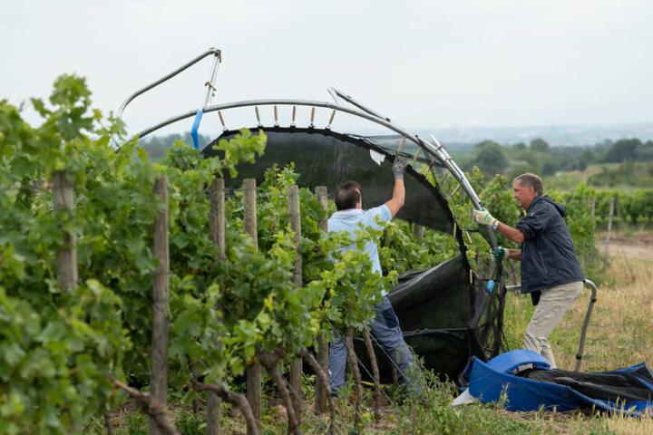 Männer holen ein Trampolin, das durch ein Unwetter von einem Grundstück weggeflogen war, aus einem Weinberg.