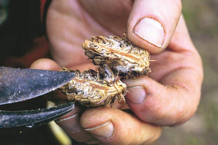 Es haben sich Schädlinge in den Lärchenzapfen eingenistet. Dadurch gehen wertvolle Samen verloren.