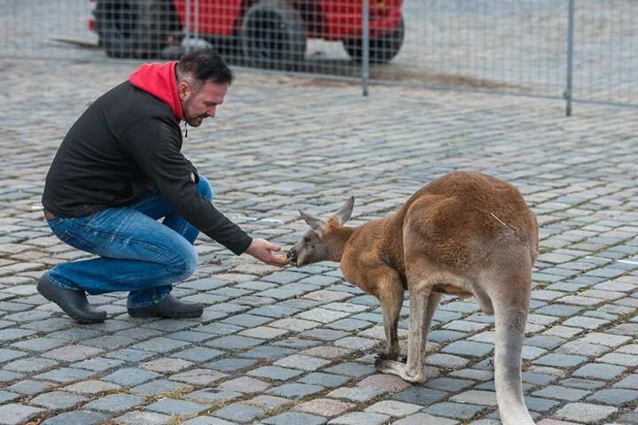 Das Känguru dürfte einer der Stars in der Manege werden.