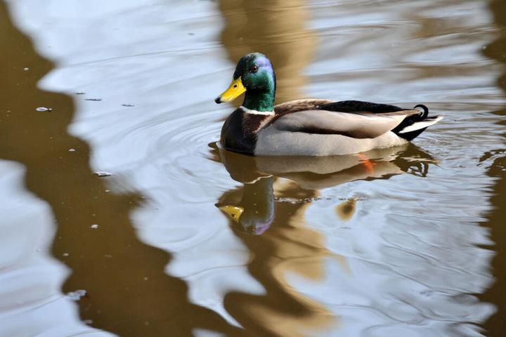 Eigentlich befallen die Parasiten Wasservögel. (Symbolbild)
