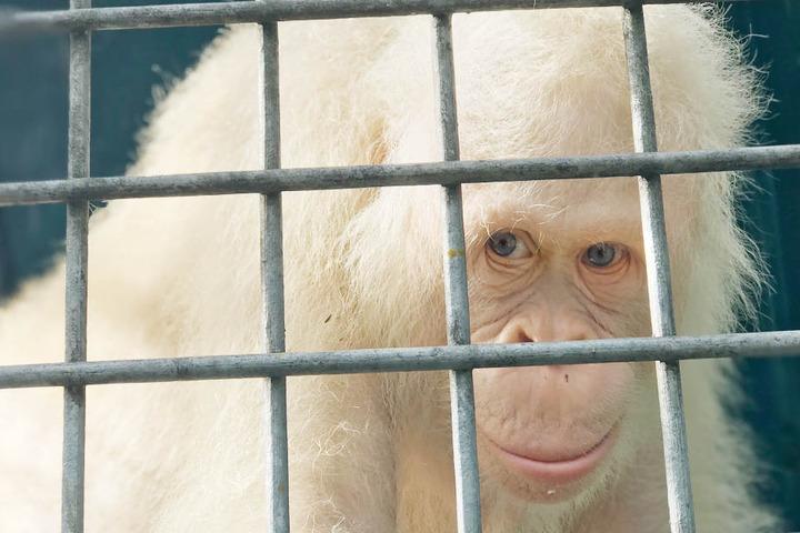 Die Tierschutzorganisation BOS (Borneo Orangutan Survival) will das Weibchen in einigen Monaten auswildern.