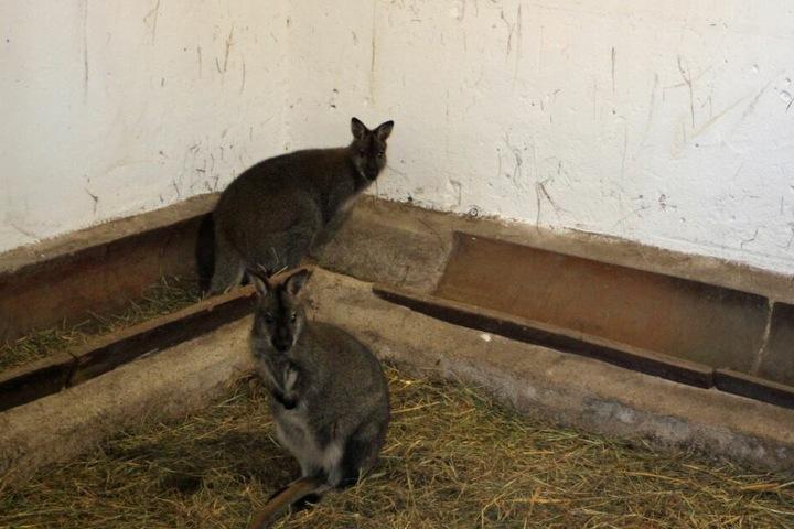 Jetzt leben nur noch zwei Kängurus im Tierpark Weißwasser.