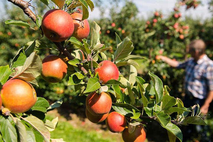 Reicht das? Ein Obstbauer inspiziert seine Ernte. (Symbolbild)