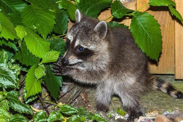 Hier sieht man einen kleinen Waschbären auf seinem Beutezug im Vorgarten (Symbolbild).