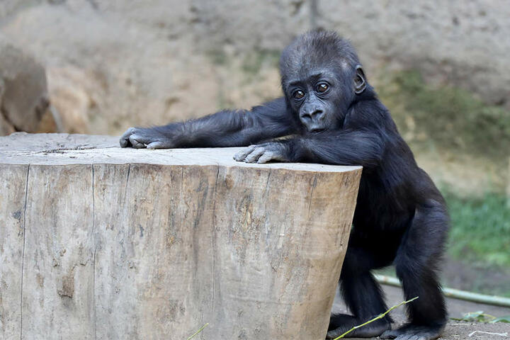 Auch das kleine Gorilla-Mädchen Kianga wird immer mobiler und neugieriger.