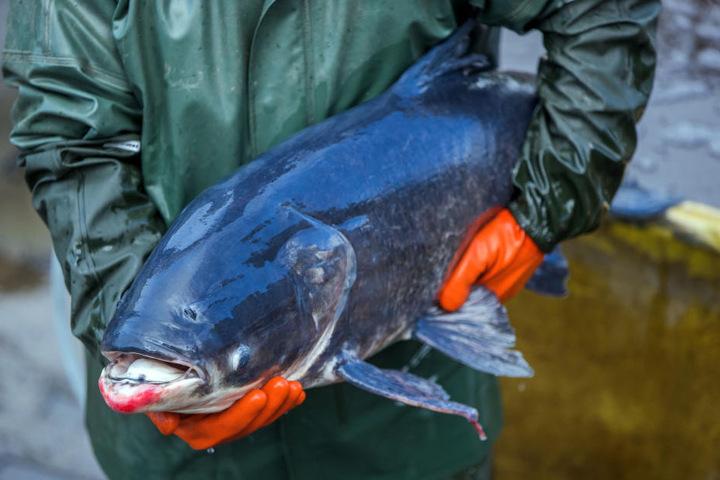 Ein Fischer in Schleswig-Holstein hält einen 30 Jahre alten Karpfen im Arm.
