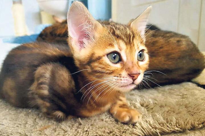 Neben den Bengalkatzen zieht Kolliski auch Serval-Wildkatzen auf.