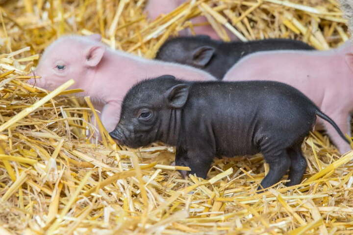 Der Zoo der Minis hat Schwein gehabt! Dieses Jahr stürmen besonders viele Besucher nach Aue.