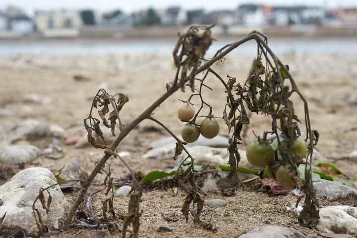 Die Samen stammen aus Kläranlagen oder Küchenabfällen von Schiffen.