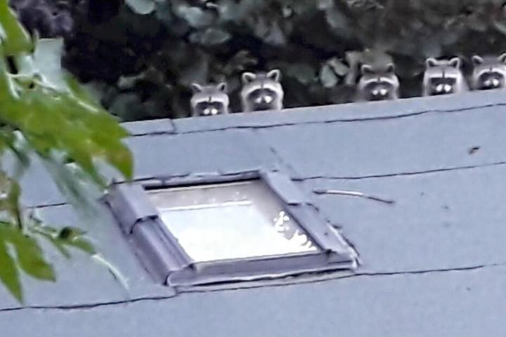 Huch! Alle in Reih und Glied, die süße Waschbären-Bande schaut possierlich drein.