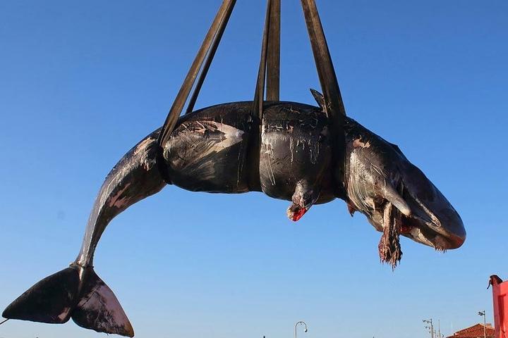 Toter Walfisch an der Küste von Sardinien.