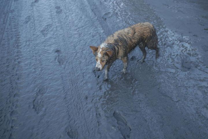 Ein Hund geht über eine mit Asche bedeckte Straße.