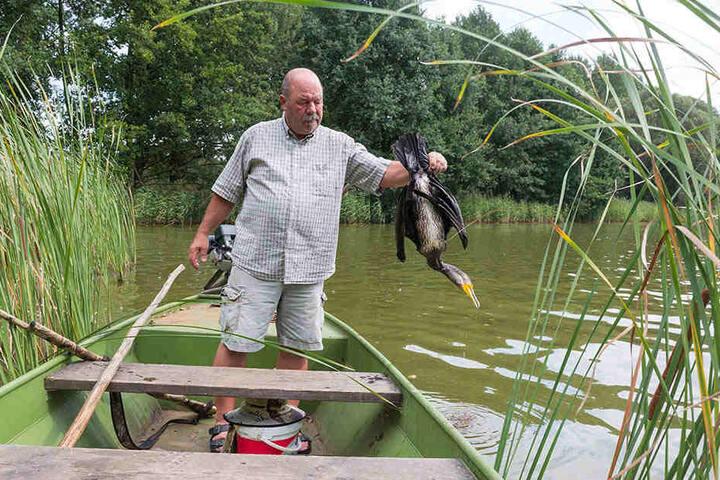 Armin Kittner fischt einen abgeschossenen Kormoran aus dem Teich. Er darf die Tiere bejagen, geht ohne Flinte kaum noch zu den Fischteichen.