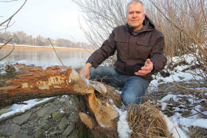 Gut Holz! Dresdens Bibermanager Harald Wolf (52) freut sich über citynahen Nagerzuwachs.