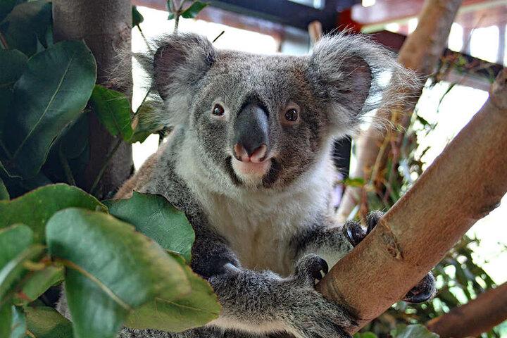 Neugierig schaut das Koala-Weibchen zwischen den Ästen hervor.