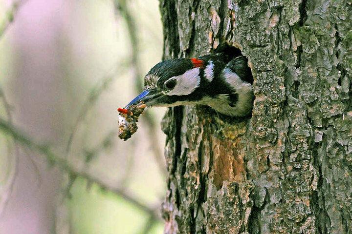 Mit den unverdaulichen Futterresten seiner Nestlinge im Schnabel verlässt der Große Buntspecht die Bruthöhle.