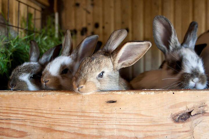 So niedlich! Doch Kaninchen können ihren Haltern schnell über den Kopf wachsen. Vor allem, wenn sie sich ungehindert vermehren können.