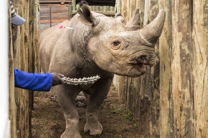 Im südafrikanischen Addo-Elephant-Park wurden Nashörner bereits gefangen und im Tschad wieder ausgesetzt. So sollen sie wieder in größeren Teilen Afrika beheimatet werden.