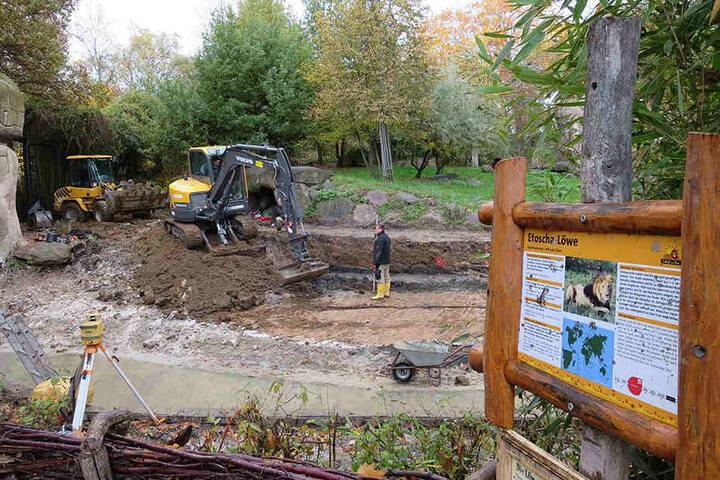 Bauarbeiter haben im Löwen-Außengehege damit begonnen, den Wassergraben zu  verbreitern.