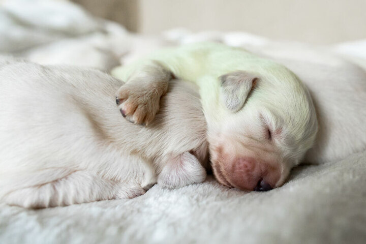 """Der mintgrüne Golden-Retriever-Welpe """"Mojito"""" schläft zwischen anderen Welpen."""