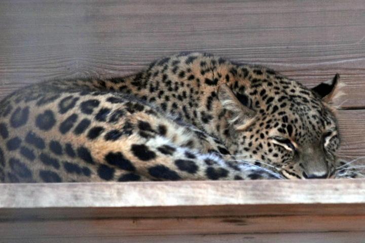 Sieht harmlos aus, ist aber eine gefährliche Raubkatze: Leopardin Cleopatra (19) tötete 2006 sogar einen Menschen.