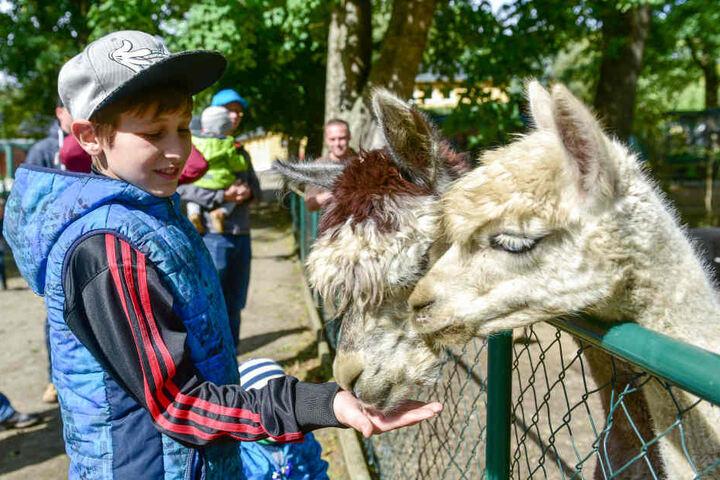 Elias (11) mag in Limbach besonders die Alpakas.