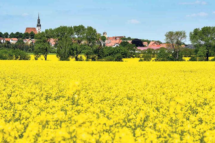 Ein Rapsfeld nördlich von Riesa:  Im Hintergrund ragt die Kirchturmspitze des Ortes Strehla in den Himmel.